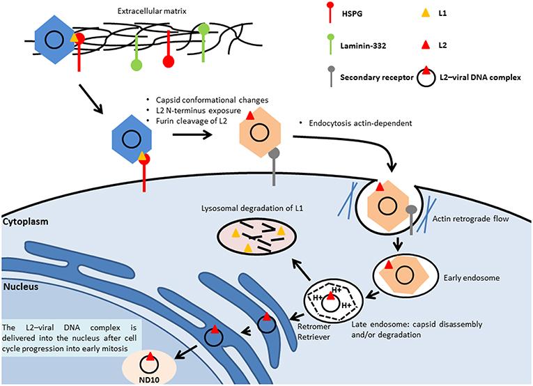 human papillomavirus infection damage detoxifierea colonului pareri