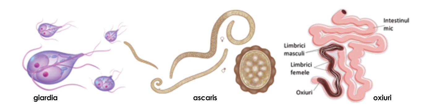 Ascaridioza (infestare cu limbrici) - tratament naturist