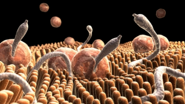 parazitii intestinali se transmit