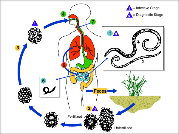 viermi cilindrici parazit