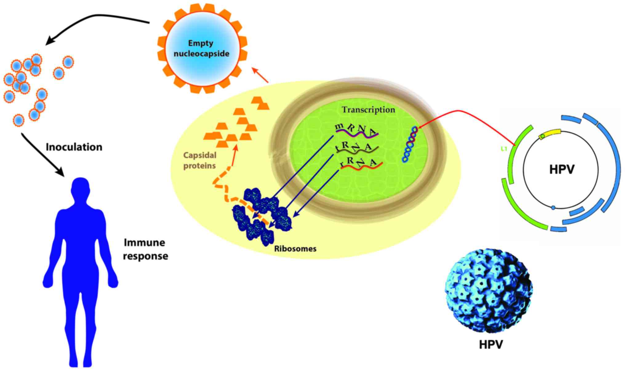 human papillomavirus? life cycle and carcinogenesis