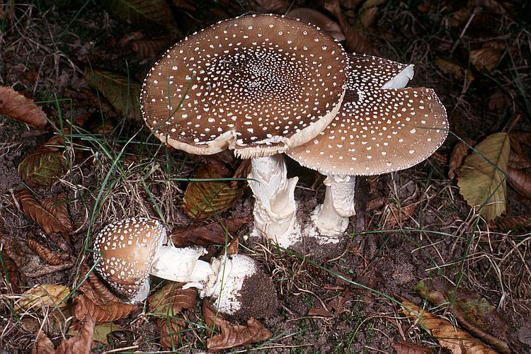 ciuperci nebune cancer bucal vindecare