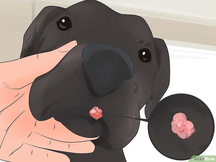 papilloma virus nel cane terapia