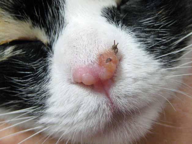 papillomatosis treatment cat