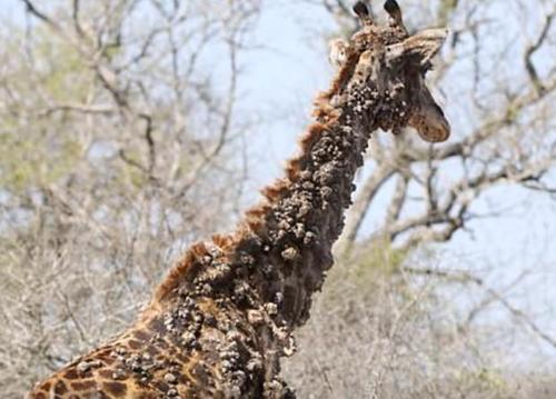 papillomavirus giraffe