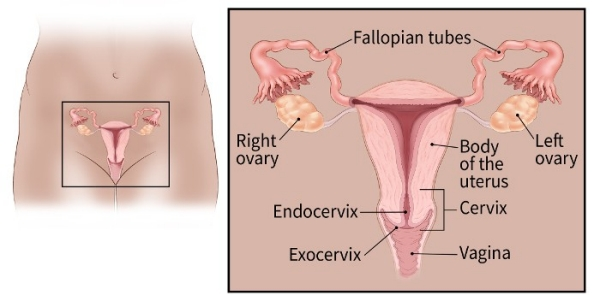 hpv infection to cervical cancer