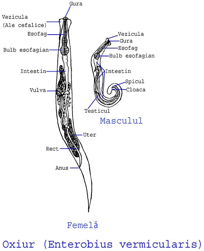 enterobius vermicularis hembra y macho k?l kurdu yumurtas?