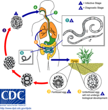 helminth infection ppt