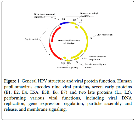 hpv infection and cervical disease a review