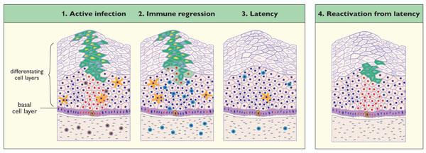 human papilloma virus latent infection virus papiloma humano factores de riesgo