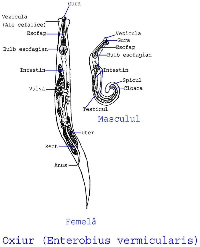 enterobius vermicularis hembra