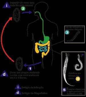 oxiuros no intestino anemia xq da