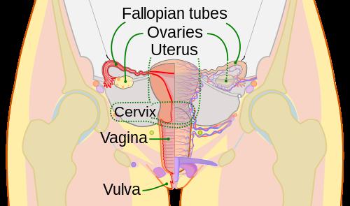 papillomavirus audio pronunciation cancer colon uptodate