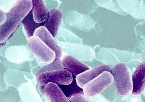 bacterii bacili papiloma xesteliyi