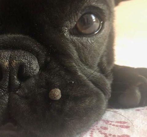 papilloma del cane
