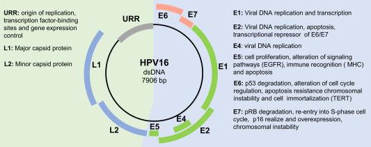 human papillomavirus origin