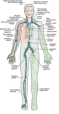 8 Best Sistem limfatic images | Lymphatic system, Lymph nodes, Lymph massage