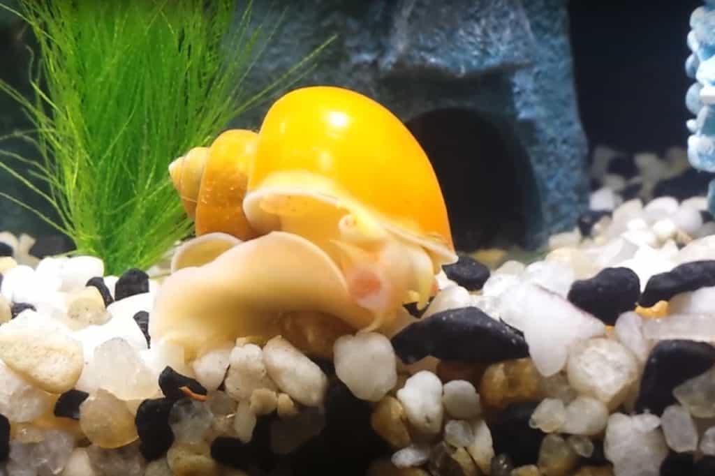 schistosomiasis from aquarium