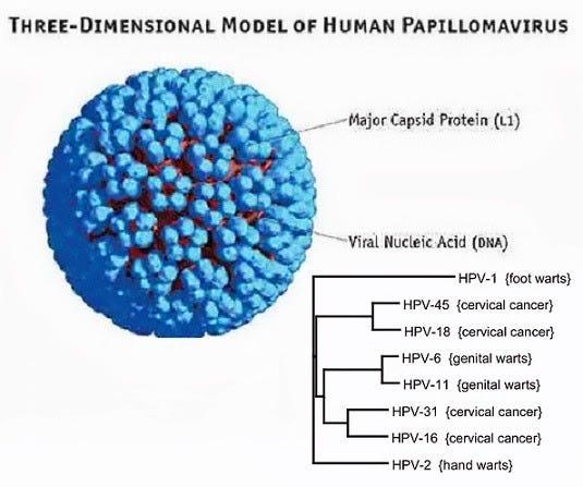 human papilloma virus menyebabkan nikvorm pareri
