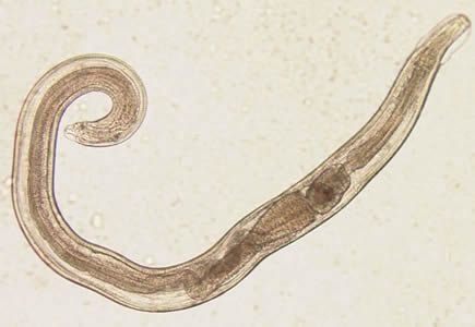 enterobius vermicularis (the pinworm)