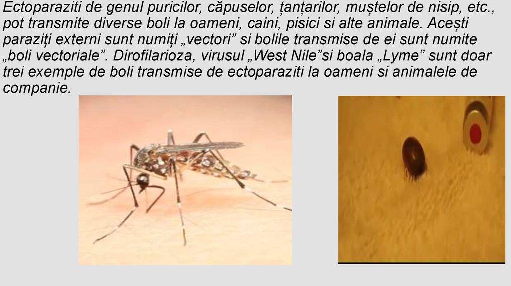 papilloma virusu nedir