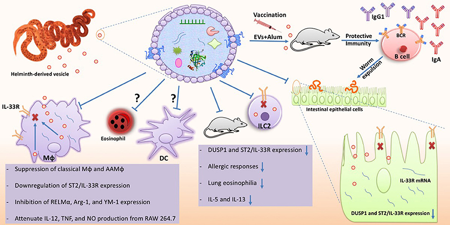 helminth infections recognition and modulation of the immune response by innate immune cells cancer de colo de utero causado por hpv