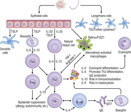 helminth infections recognition and modulation of the immune response by innate immune cells