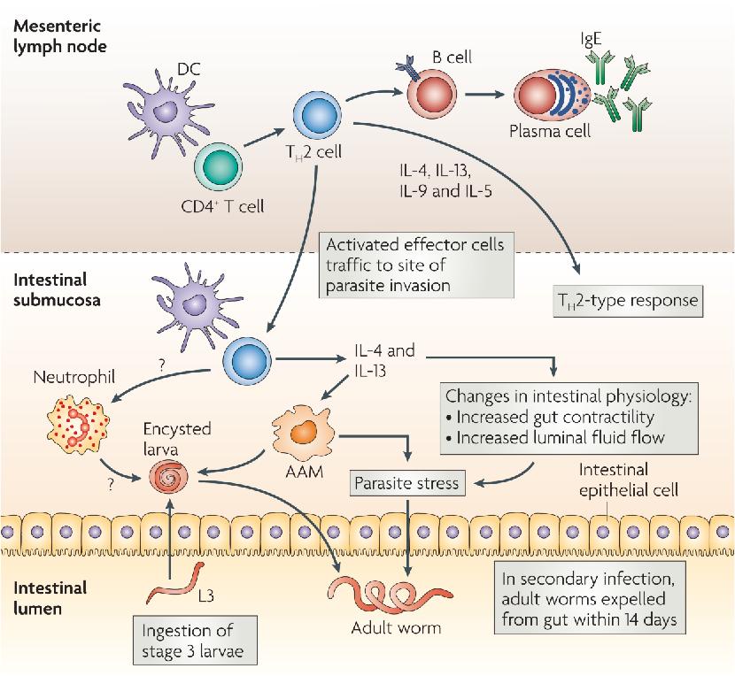 helminthic innate immunity cancer de pancreas quimio