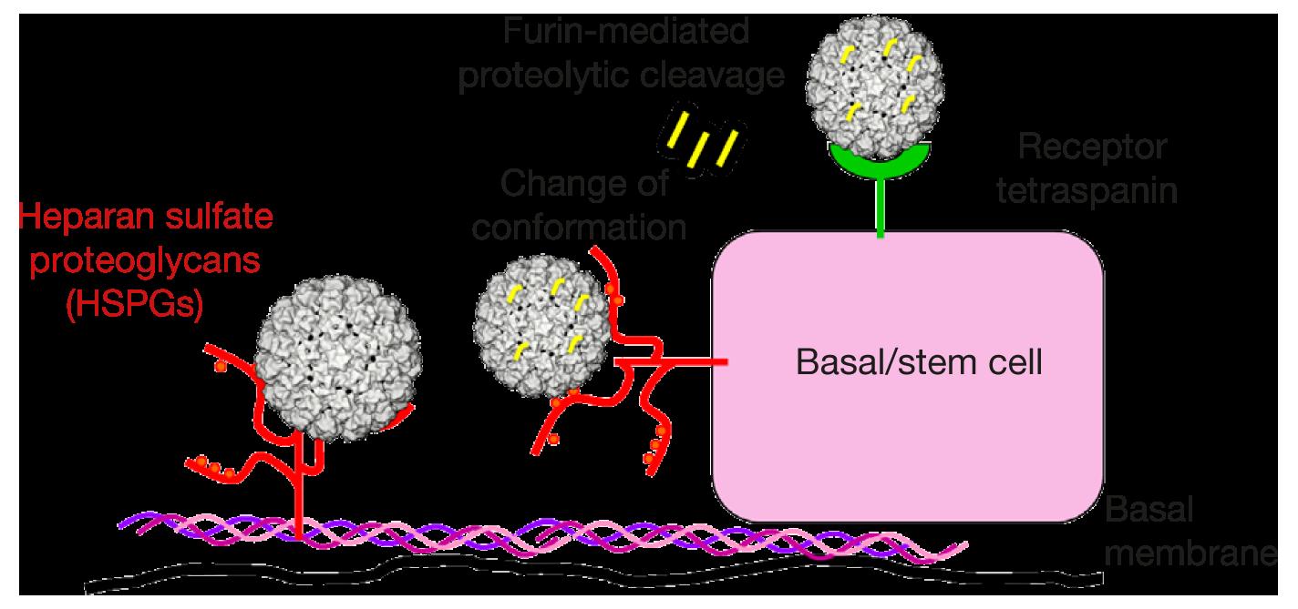 hpv virus and brain cancer pap test positivo per papilloma virus
