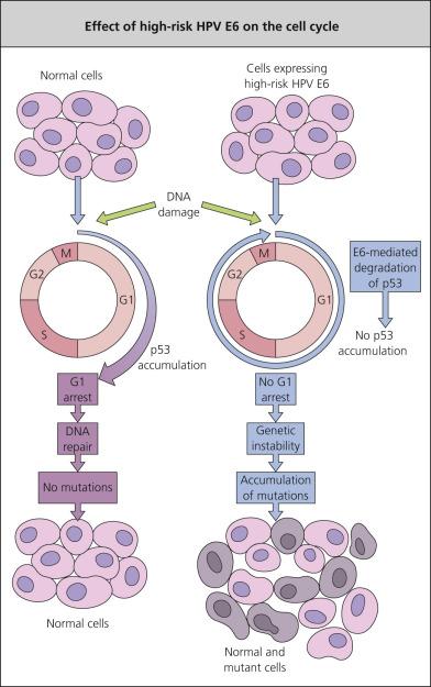 papillomavirus viral replication papiloma humano recomendaciones
