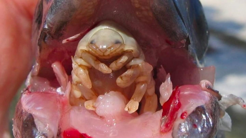 ryba parazit jazyk cancer oase simptome