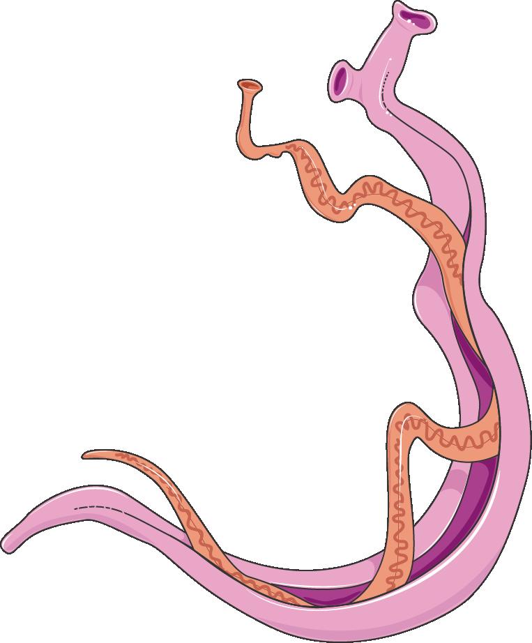 schistosoma makalah enterobiasis
