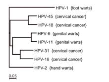 hpv types genital warts