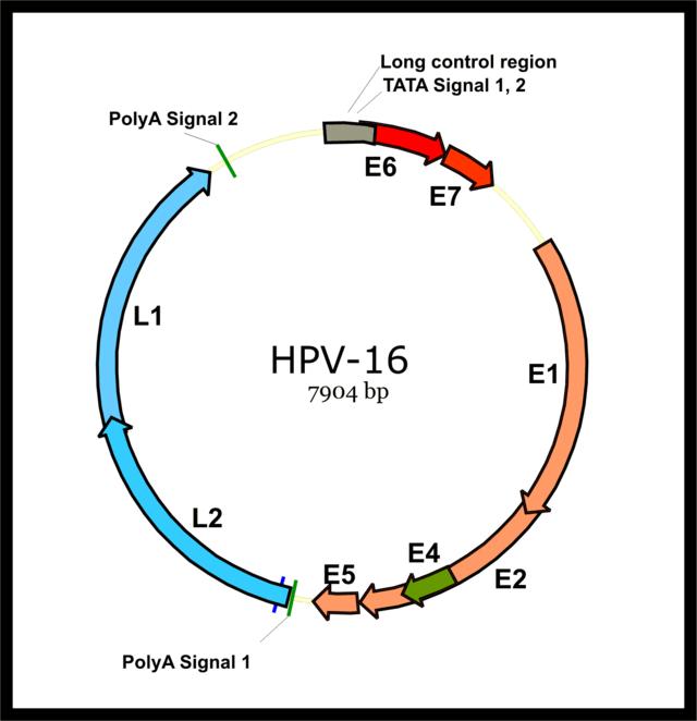 human papillomavirus genome sequence