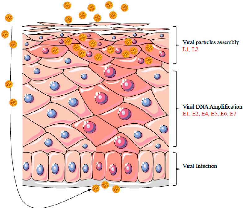 enterobius vermicularis uk