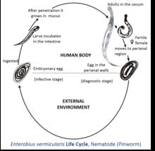 enterobius vermicularis size hpv per uomini