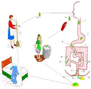 enterobius vermicularis factores de virulencia 8 man diarre