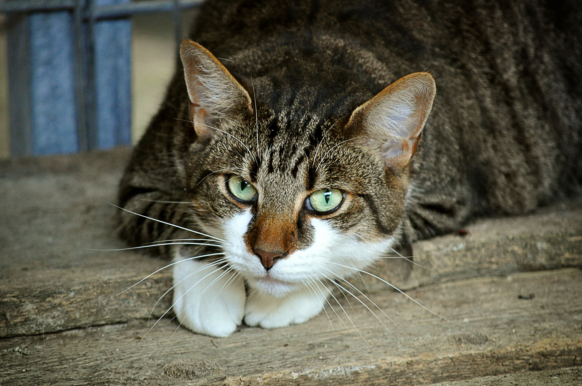 los gatos tienen oxiuros helmintox achat