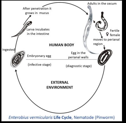 enterobius vermicularis larva morfologia