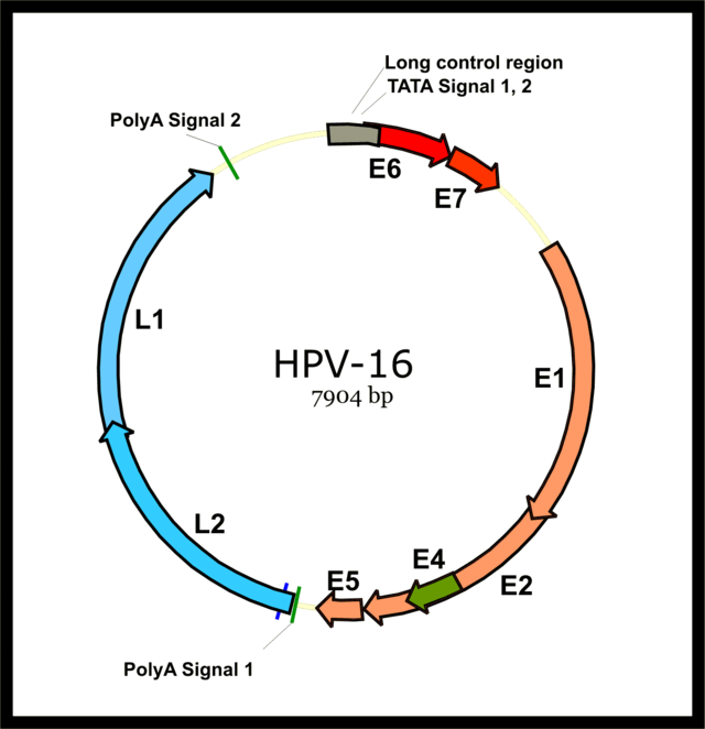 virus papiloma humano genotipo 16 with human papillomavirus 16
