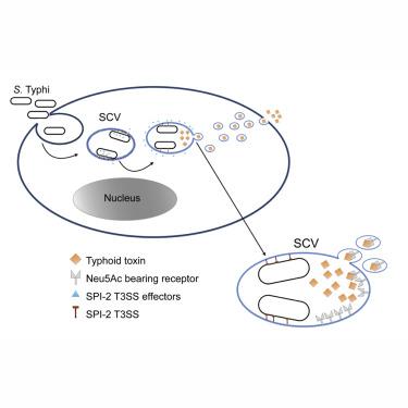 toxine typhoide