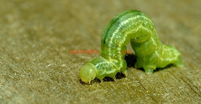 vierme mare verde squamous papilloma with mild dysplasia