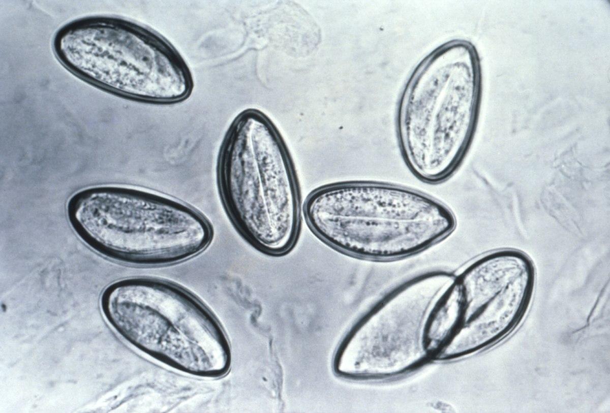 oxiuros larvas