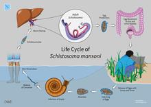 schistosomiasis webmd