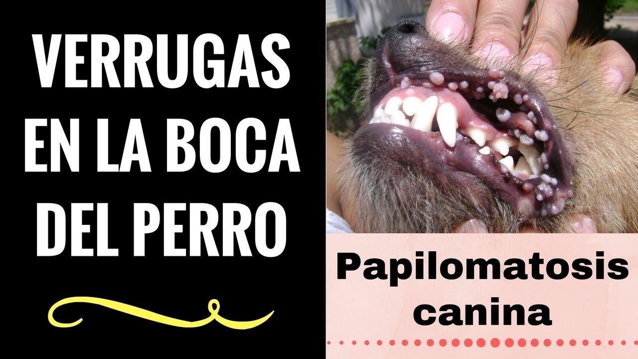 papiloma en perros en la boca tratamiento