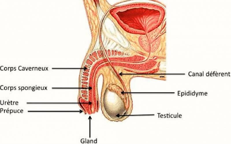 cancer testicule urologue