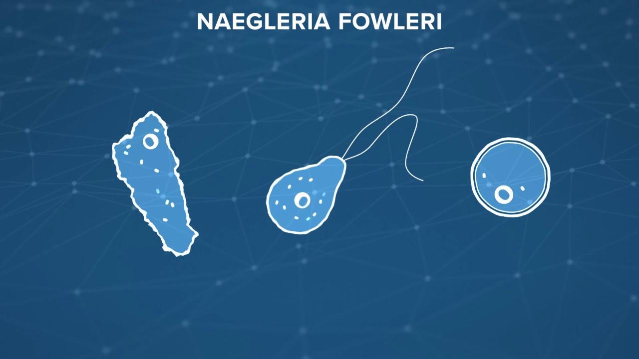 naegleria fowleri