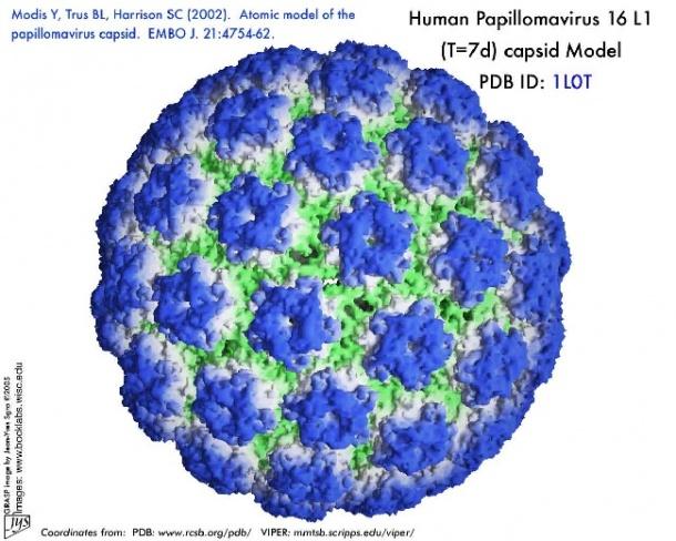 human papilloma virus from cause papillomavirus homme