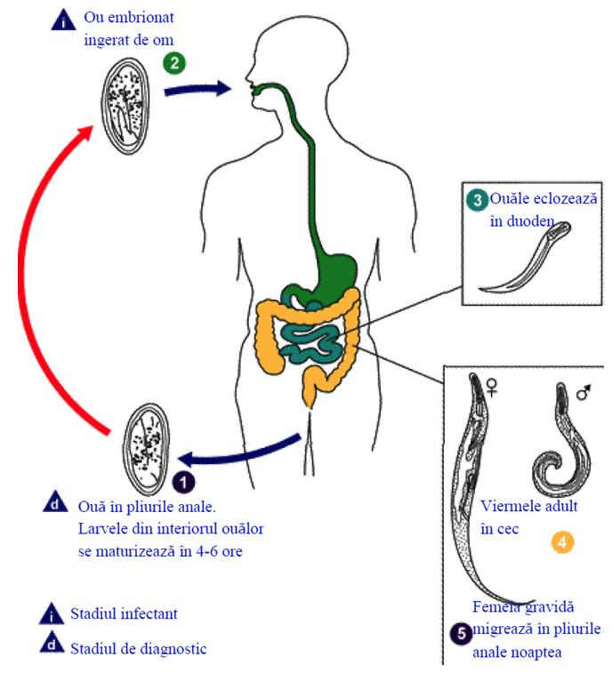 virus hpv si trasmette solo sessualmente papillomas and hyperkeratosis