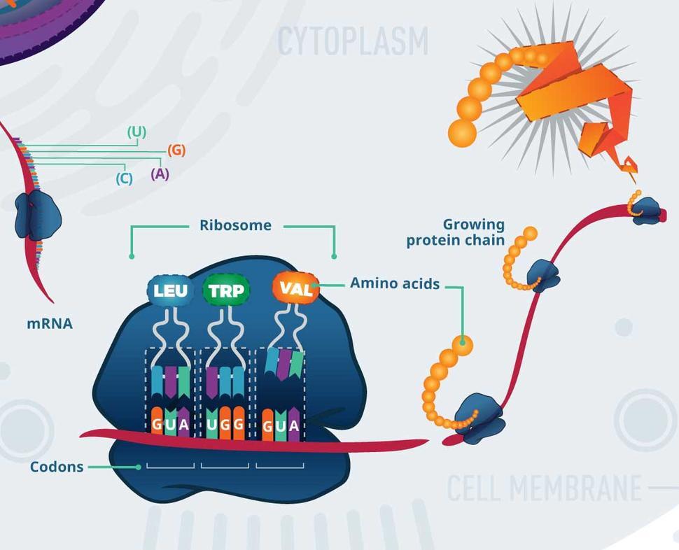 ciuperci felul 2 papilloma virus al labbro